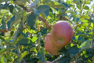 長野県のリンゴ農園の写真素材 [FYI02922275]