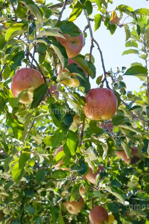 長野県のリンゴ農園の写真素材 [FYI02922276]
