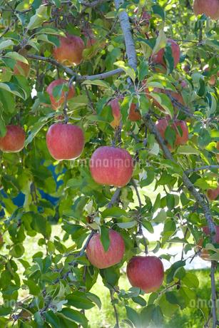 長野県のリンゴ農園の写真素材 [FYI02922277]