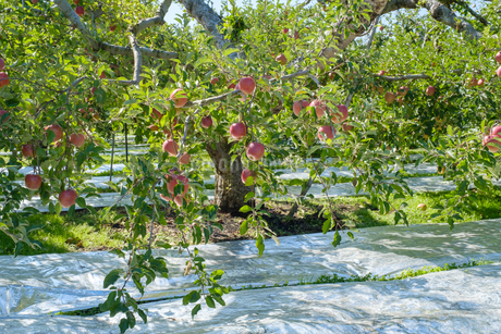 長野県のリンゴ農園の写真素材 [FYI02922279]