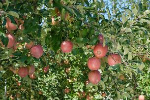 長野県のリンゴ農園の写真素材 [FYI02922281]