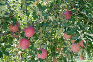 長野県のリンゴ農園の写真素材 [FYI02922282]