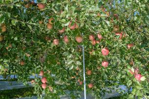 長野県のリンゴ農園の写真素材 [FYI02922283]