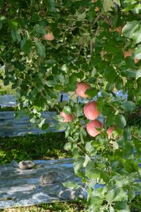 長野県のリンゴ農園の写真素材 [FYI02922284]