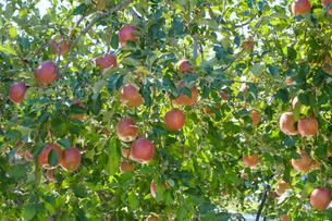 長野県のリンゴ農園の写真素材 [FYI02922286]