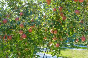長野県のリンゴ農園の写真素材 [FYI02922287]