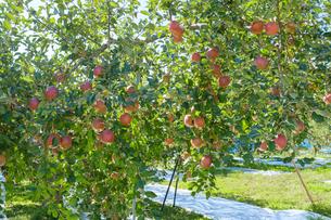 長野県のリンゴ農園の写真素材 [FYI02922288]