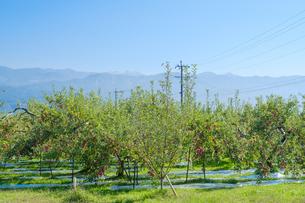 長野県のリンゴ農園の写真素材 [FYI02922289]
