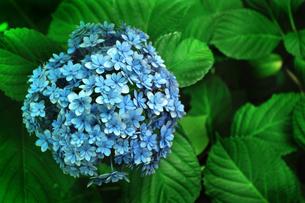 一輪の青い紫陽花の写真素材 [FYI02922304]