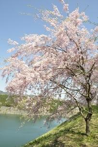 湖畔の枝垂桜の写真素材 [FYI02922338]