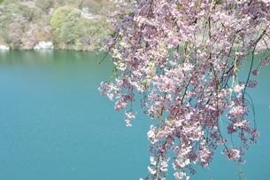 湖畔の枝垂桜の写真素材 [FYI02922340]
