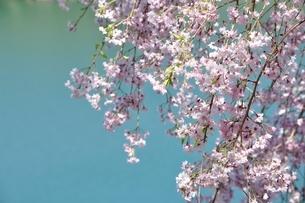 湖畔の枝垂桜の写真素材 [FYI02922342]