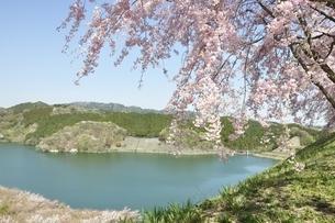 湖畔の枝垂桜の写真素材 [FYI02922344]