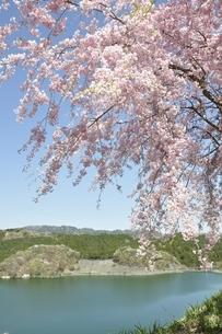 湖畔の枝垂桜の写真素材 [FYI02922347]