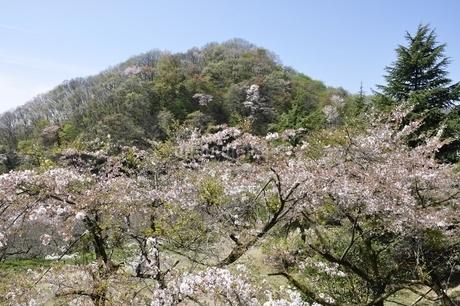 新緑と桜の写真素材 [FYI02922351]
