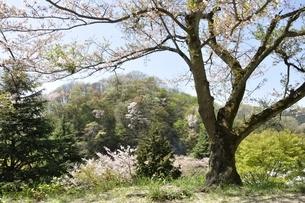 新緑と桜の写真素材 [FYI02922355]