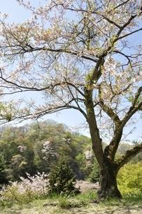 新緑と桜の写真素材 [FYI02922357]