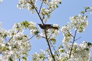 ツグミと桜の写真素材 [FYI02922366]