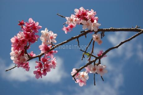 沖縄の緋寒桜の写真素材 [FYI02922374]
