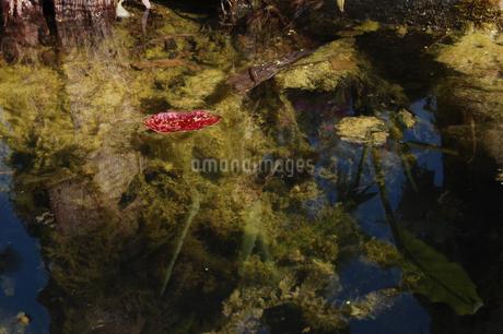 川を流れる赤い枯れ葉の写真素材 [FYI02922384]