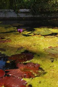 池に一輪咲くハスの花の写真素材 [FYI02922388]