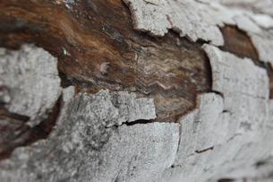 枯れた木の表面の写真素材 [FYI02922399]