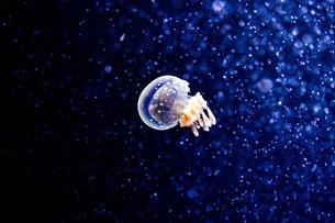 タコクラゲの写真素材 [FYI02922414]