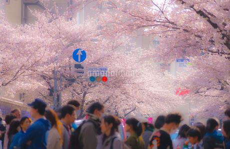 たまプラーザの桜並木と雑踏の写真素材 [FYI02922471]