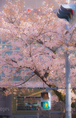 たまプラーザの桜並木と交通の写真素材 [FYI02922474]