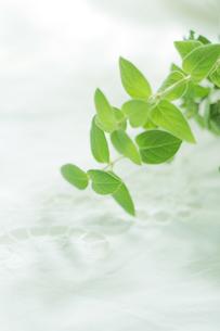 白いテーブルクロスと緑の葉の写真素材 [FYI02922736]