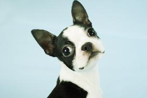 ボストンテリア子犬の顔アップの写真素材 [FYI02922743]