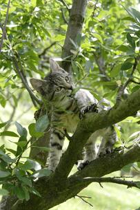 木登りする猫の写真素材 [FYI02923332]