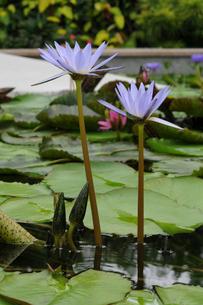 スイレンの花の写真素材 [FYI02923391]