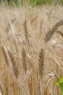 大麦の栽培の写真素材 [FYI02923403]
