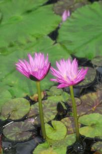 スイレンの花の写真素材 [FYI02923416]