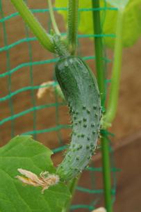 キュウリの栽培の写真素材 [FYI02923444]