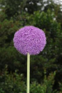 ギガンジュームの花の写真素材 [FYI02923457]