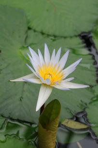 スイレンの花の写真素材 [FYI02923469]