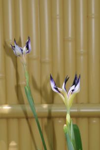 花ショウブの写真素材 [FYI02923505]
