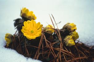雪と福寿草の写真素材 [FYI02923806]