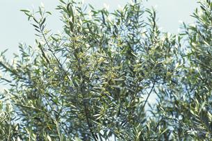 オリーブの木の写真素材 [FYI02923837]