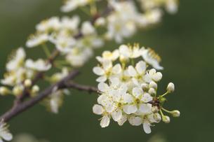すももの花の写真素材 [FYI02923873]