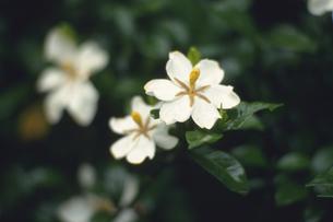 クチナシの写真素材 [FYI02923884]