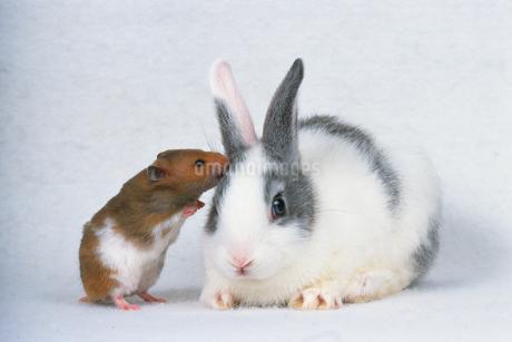 ウサギとハムスターの写真素材 [FYI02924194]