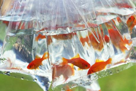 ビニール袋に入った金魚の写真素材 [FYI02924296]