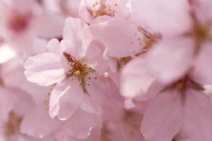 桜の写真素材 [FYI02924411]