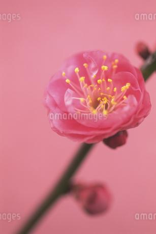 紅梅の写真素材 [FYI02924466]