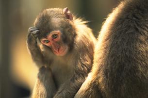 日本猿の写真素材 [FYI02926148]