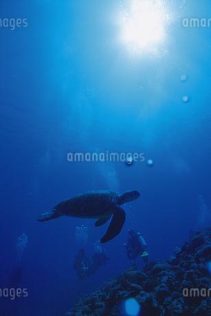 アオウミガメの写真素材 [FYI02926500]