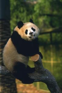 パンダの写真素材 [FYI02926578]